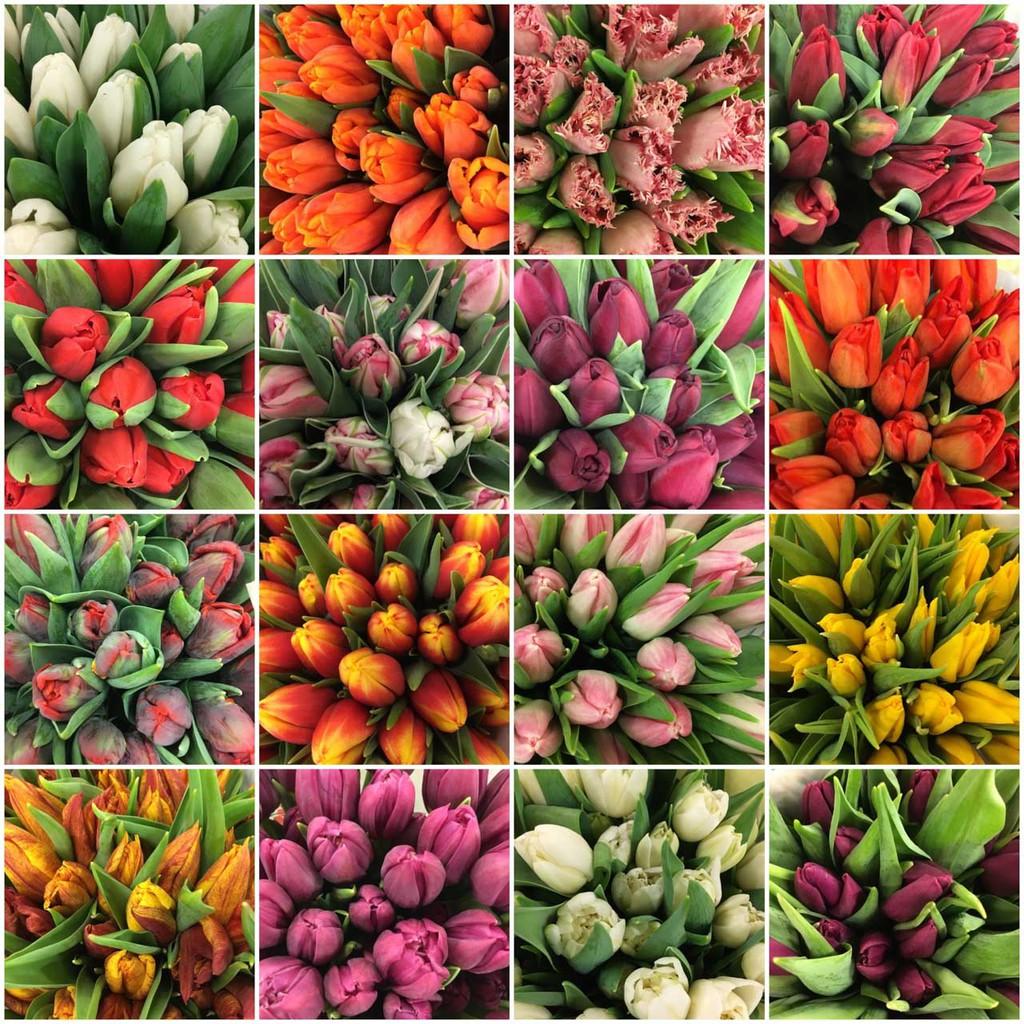 tulipan7.jpeg